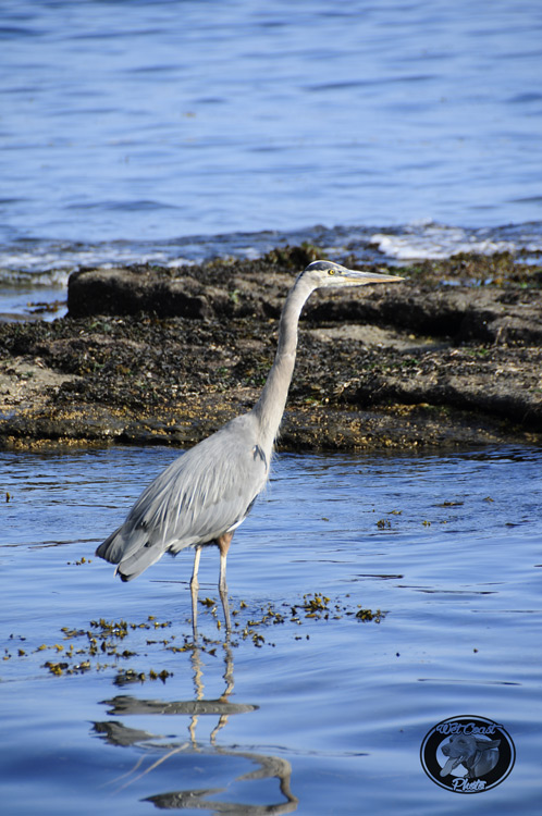 West Coast Heron